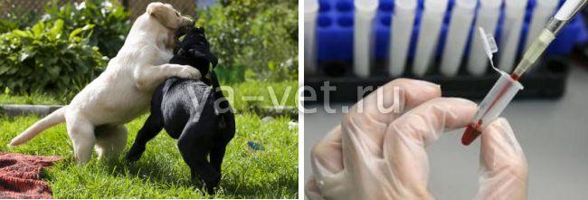 щелочная фосфатаза повышена причины у собак