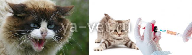 Нужно ли делать коту прививку от бешенств