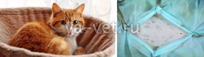 стерилизация кошек лапароскопия