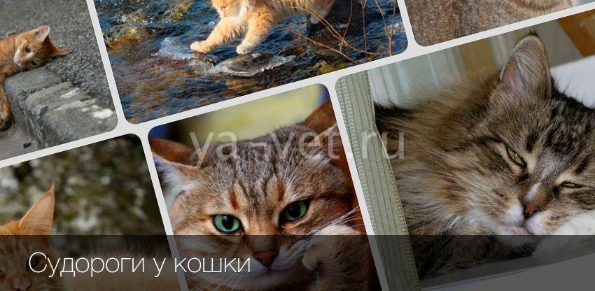 Судороги у кошек - симптомы лечение и причины