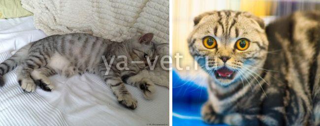 у кошки судороги задних лап