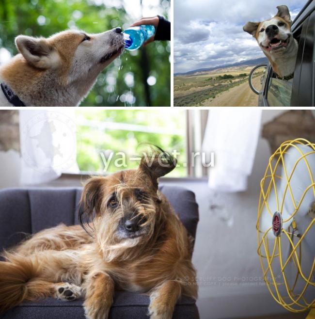 тепловой удар у собаки симптомы