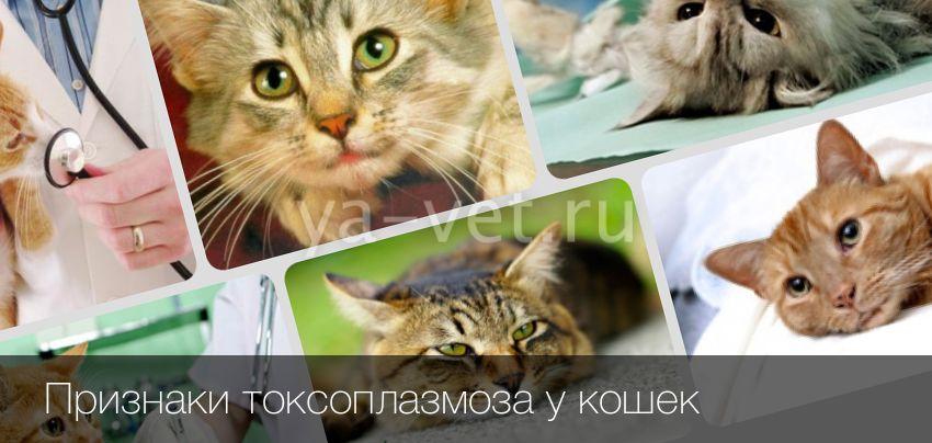 Токсоплазмоз у кошки как распознать вылечить и предупредить
