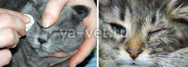 у кошки текут глаза