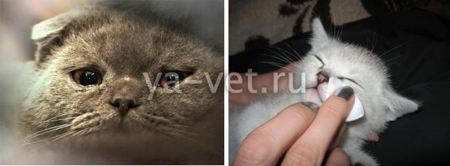 у кота течет глаз что делать
