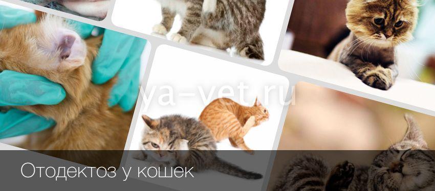 Ушная чесотка у кошек причины и последовательность действий