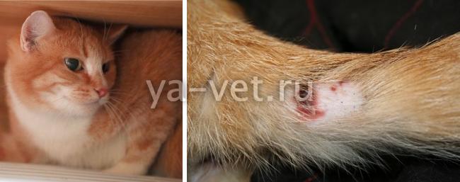 Гнойная рана у кота лечение