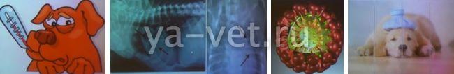аденовирус у собак симптомы и лечение