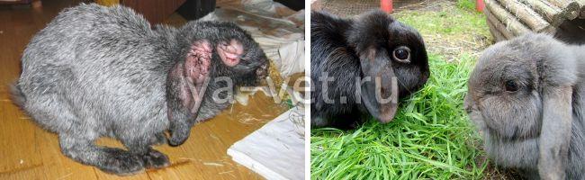 болезнь кроликов миксоматоз