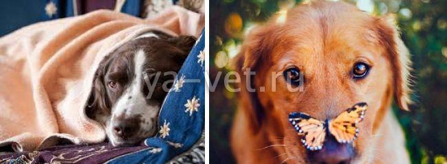 болезни сердца у собак симптомы