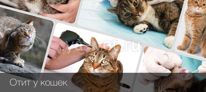 Внутренний отит  тяжелая патология ушей у кошек