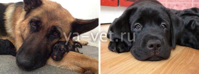 дегельминтизация собаки перед прививкой