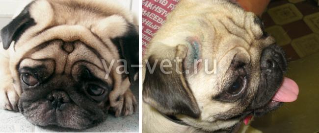 демодекоз у собак симптомы