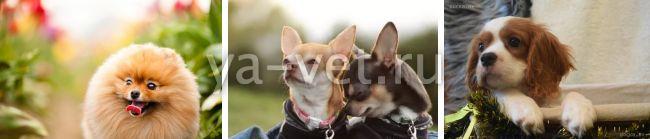 эндокардиоз митрального клапана у собак лечение