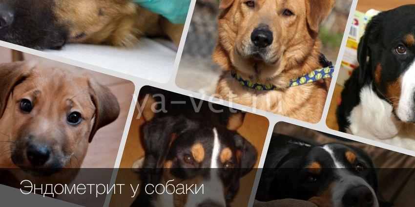 Гнойно-катарального эндометрит у собак