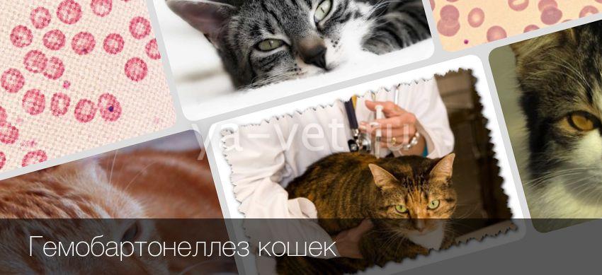 Гемобартонеллез кошек: симптомы, лечение и профилактика