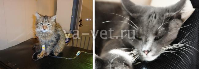 гемобартонеллез кошки лечение
