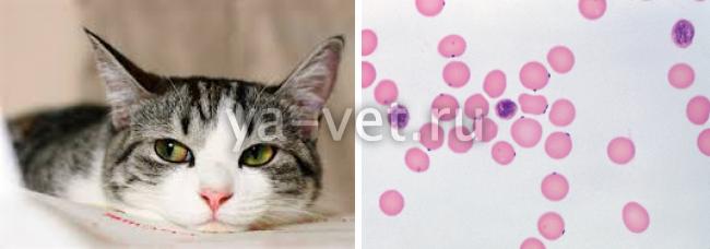 гемобартонеллез кошки симптомы