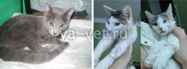 гемобартонеллез кошки