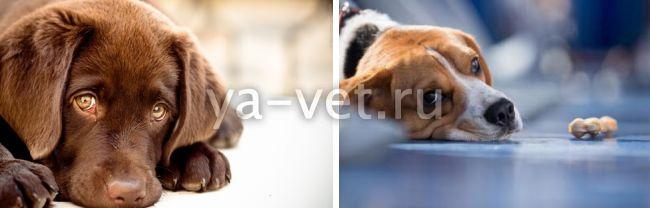 гепатит у собак симптомы и лечение