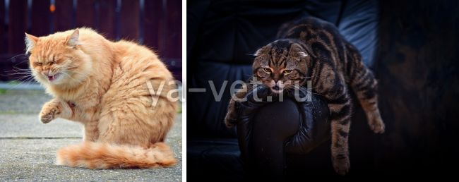 гкмп у кошек лечение