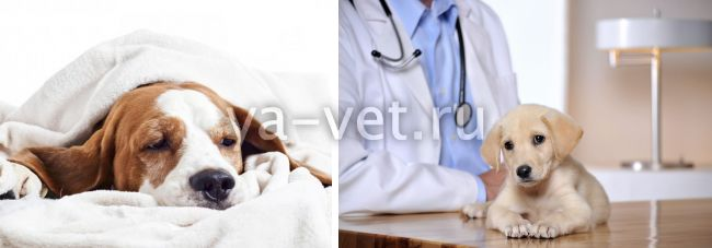 хламидиоз у собак симптомы и лечение