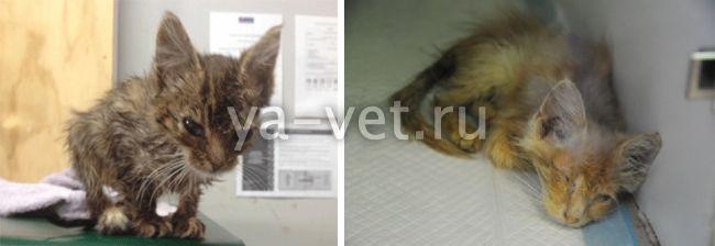 хронические вирусные инфекции кошек