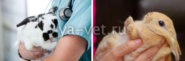 как лечить пододерматит у кроликов