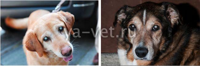 катаракта у собаки лечение