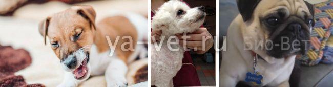 коллапс трахеи у собак лечение