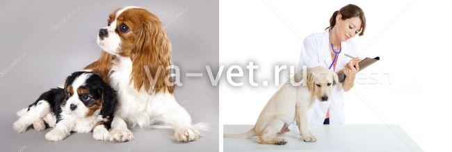 лечение хламидиоза у собак