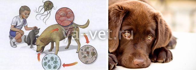 лечение лямблиоза у собак