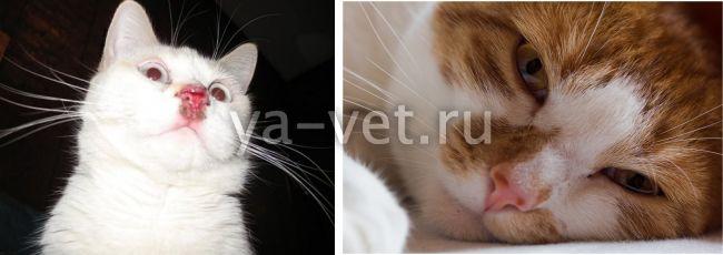 лечение вирусных инфекций у кошек
