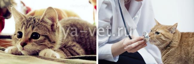 лептоспироз у кошек симптомы