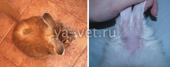 лишай у кроликов лечение