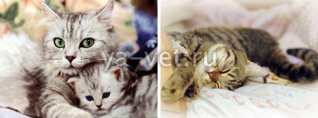 ложная беременность у кошки что делать