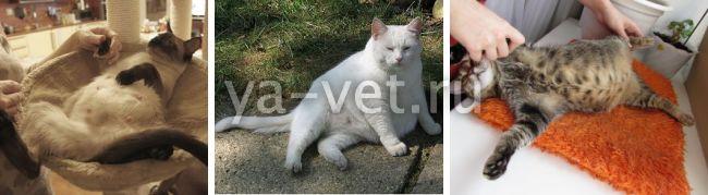 ложная беременность у кошки симптомы