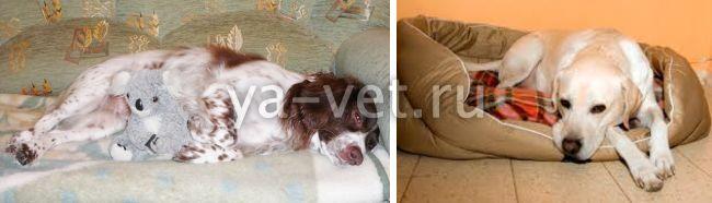 ложная беременность у собак симптомы
