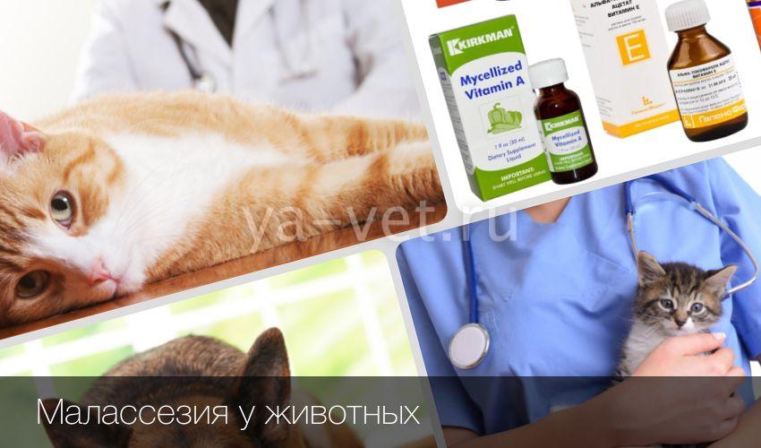 Малассезия грибок у кошек основные проявления и методы лечения