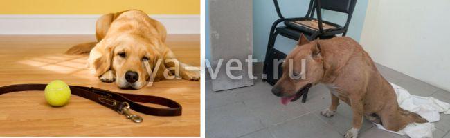миозит у собак симптомы лечение