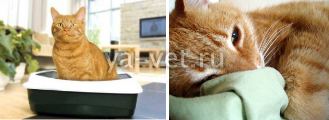 мочекаменная болезнь у кастрированных котов