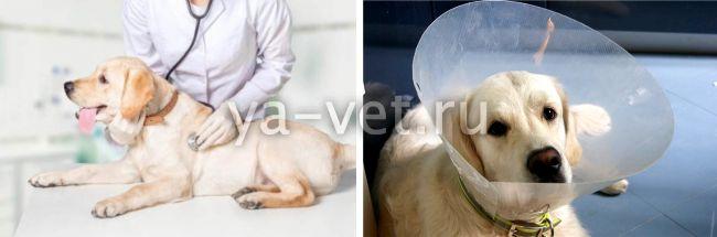 мокнущая экзема у собак