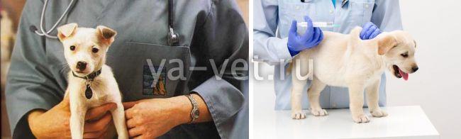 можно делать прививку от чумки собакам подкожно