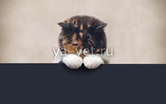 нефрит у кошек симптомы и лечение