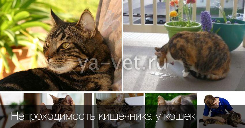Что делать, если у кошки заворот кишок? Определяем самостоятельно заворот кишок у кошки: диагностика и лечение