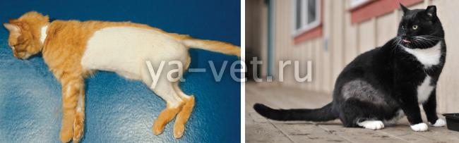 облысение у кошек причины лечение