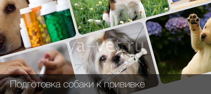 Как глистогонить собаку перед прививкой и зачем