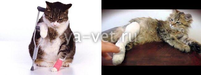 перелом лапы у кошки лечение