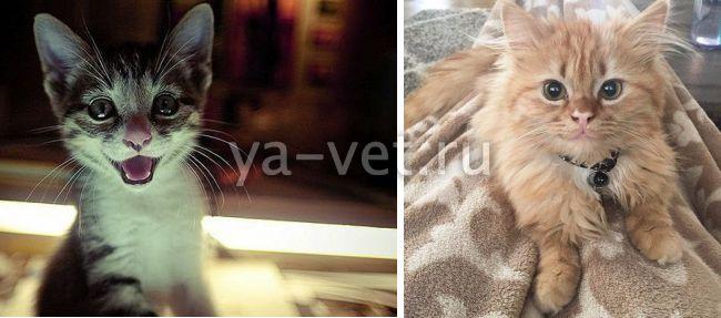 перелом лапы у кота симптомы