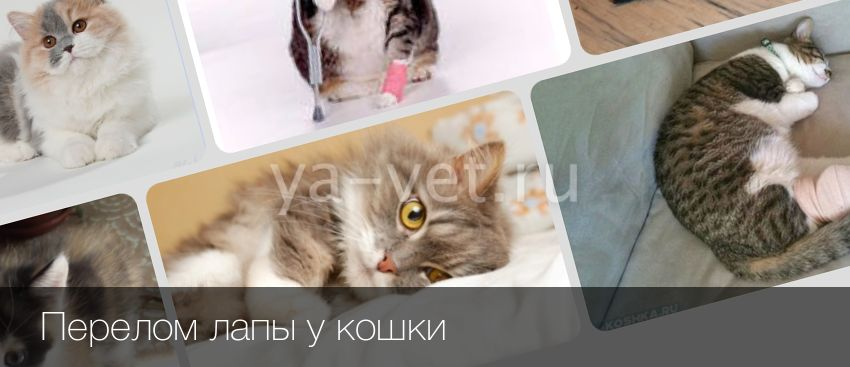 Перелом лапы у кошки лечение в домашних условиях как определить ушиб или перелом